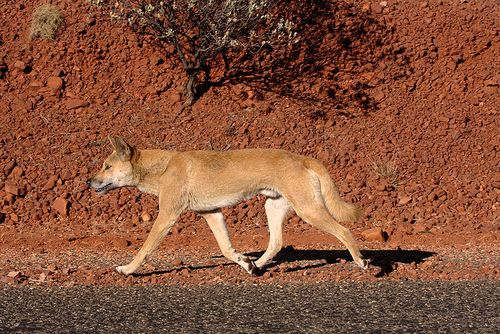 Dingo_on_the_road