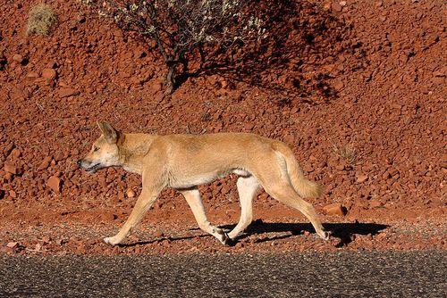 Dingo_on_the_road
