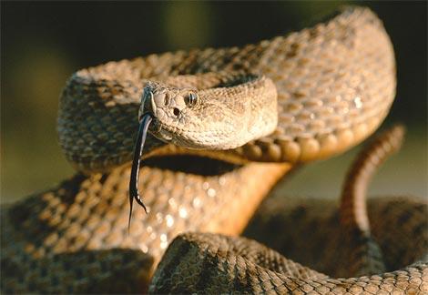 Rattlesnake-prairie-coiled
